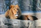 Löwen Blick