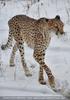 Paulchen Gepard