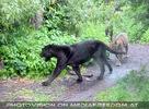 Schleichende Panther