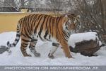 Schnee Tiger