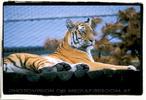 Tiger Aufsicht