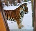 Tiger Ausblick