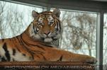 Tiger indoor