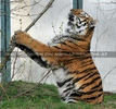 Tiger Konzentration