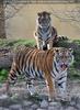 Tiger Langeweile