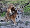 Tiger Liebe