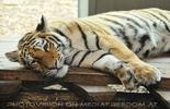Tiger müde
