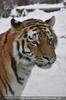 Tiger Obacht