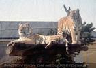 Tiger Paar