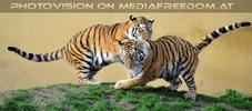 Tiger Spiel