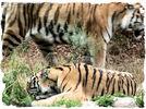 Tiger - Streif(en)zug