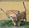 Tiger tollen