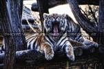 Tiger Traum
