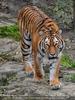 Sibirische Tiger 18