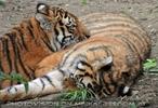 Sibirische Tiger 4
