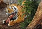 Sibirische Tiger Fütterung 02