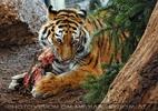 Sibirische Tiger Fütterung 03