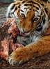 Sibirische Tiger Fütterung 04