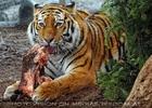 Sibirische Tiger Fütterung 05
