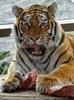 Sibirische Tiger Fütterung 08
