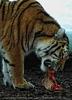 Sibirische Tiger Fütterung 1