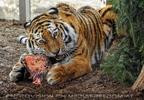Sibirische Tiger Fütterung 11