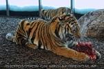 Sibirische Tiger Fütterung 3