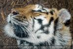Sibirische Tiger ruht