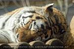 Sibirische Tiger schläft