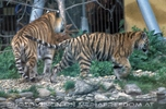 Sibirische Tiger Teens