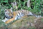 Sibirische Tigerbabies 1