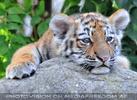 Sibirische Tigerbabies 4