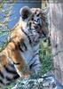 Sibirische Tigerbabies 5