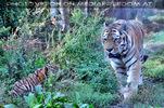 Sibirische Tigerbabies 6