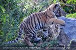 Sibirische Tigerbabies 7