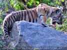 Sibirische Tigerbabies 8