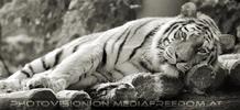 Sibirische Tigerin döst