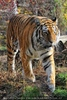 Sibirischer Tiger 04