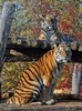 Sibirischer Tiger 11