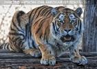 Sibirischer Tiger 5