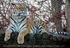 Sibirischer Tiger 6