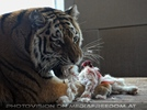 Sibirischer Tiger frisst