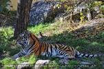 Sibirischer Tiger im Schatten