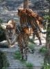 Quatro Tiger
