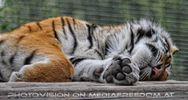 Sibirischer Tiger schläft