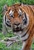 Sibirischer Tiger schleicht herum