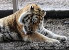 Tiger Wäsche