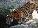 Trinkender Tiger
