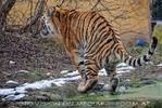Sibirischer Tiger Winter 03