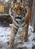 Sibirischer Tiger Winter 05